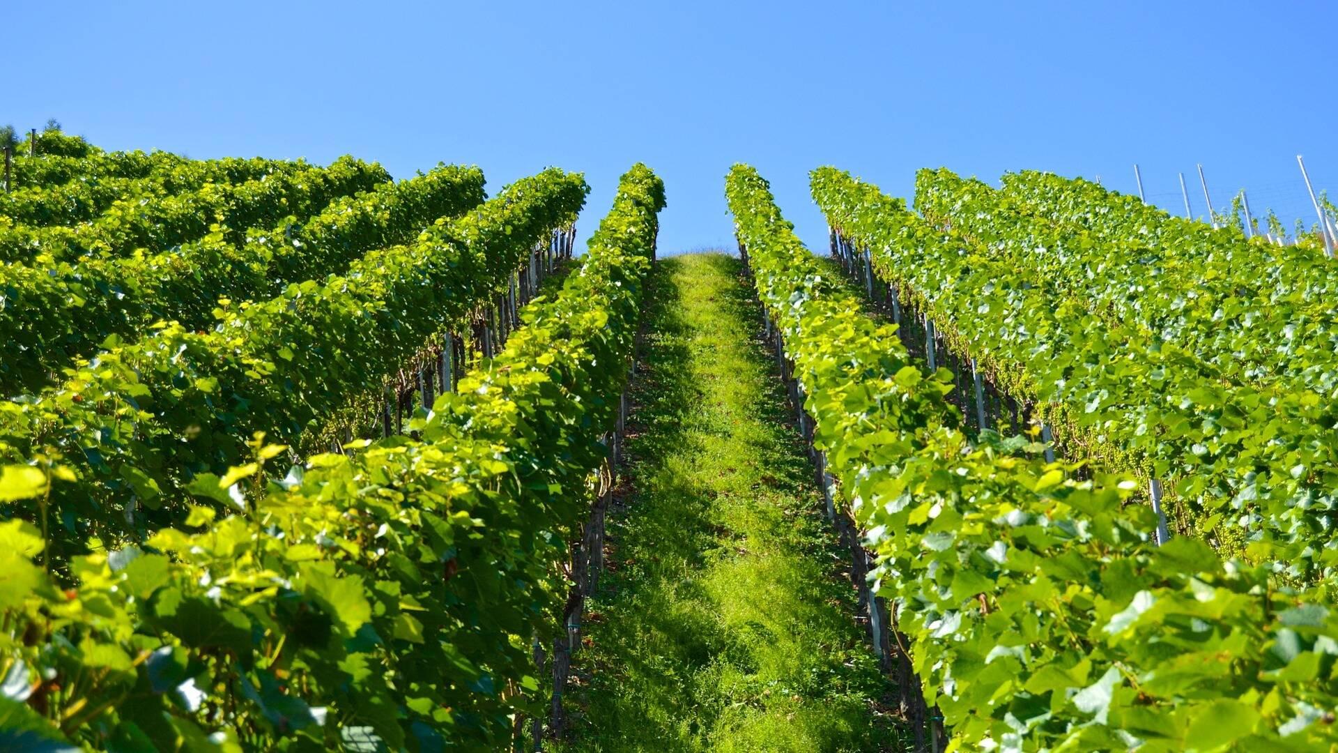 Vines of the Coteaux Vitryats